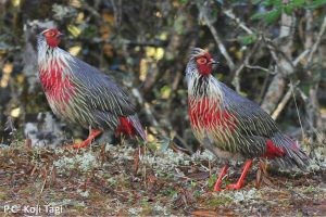 blood_pheasant_nepal