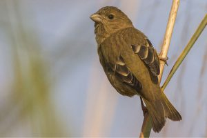 common_rosefinch_female