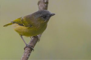 green_shrike_babbler