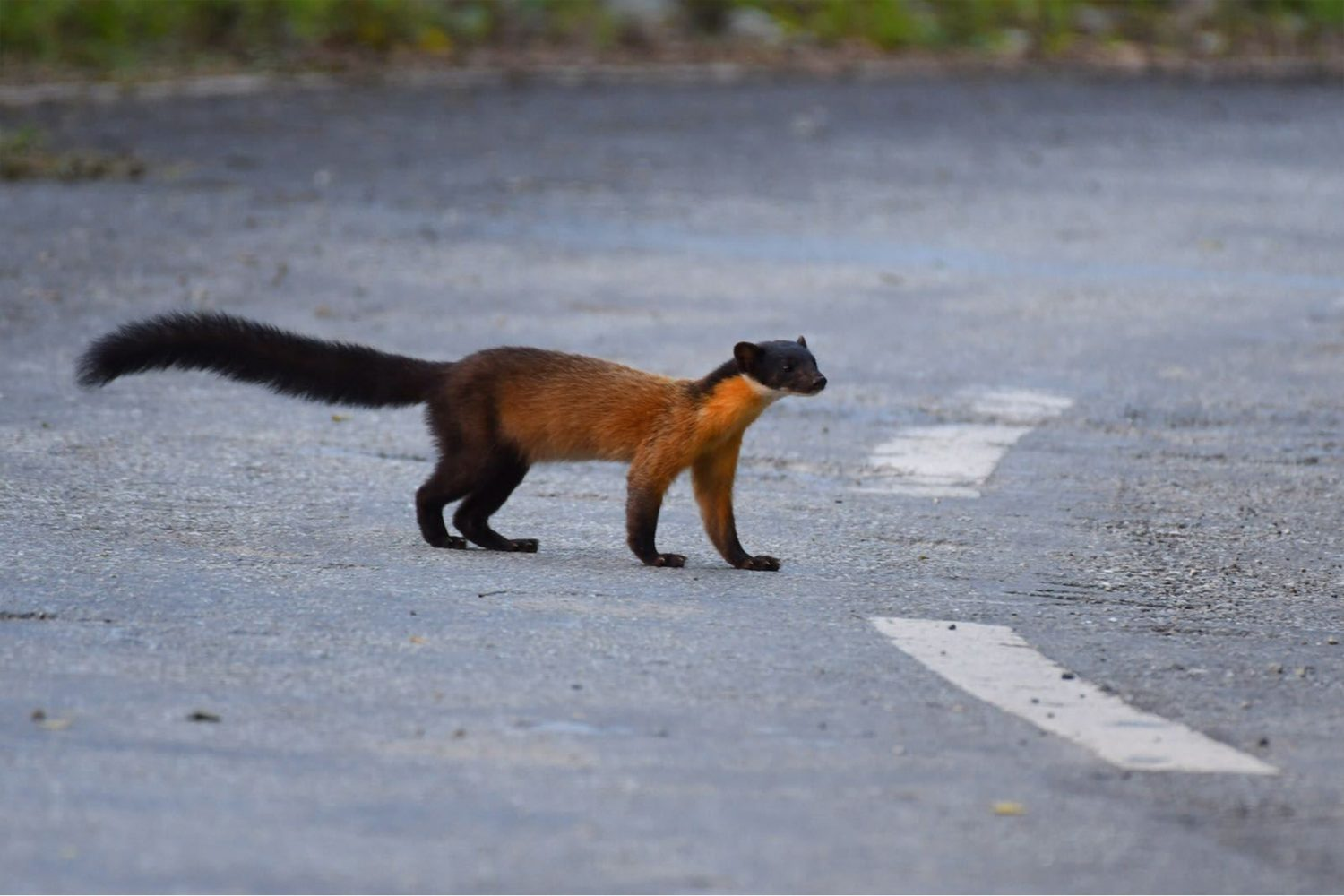 yellow_throated_marten