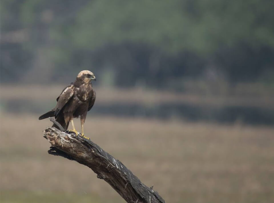 marsh_harrier_bharatpur_1