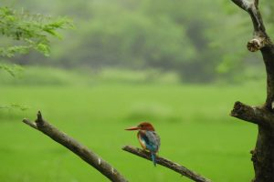 white_throated_kingfisher_1