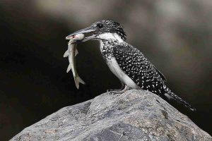 crested_kingfisher