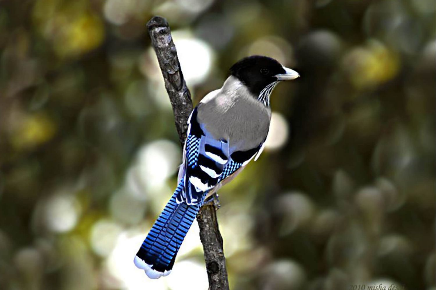 black_headed_jay