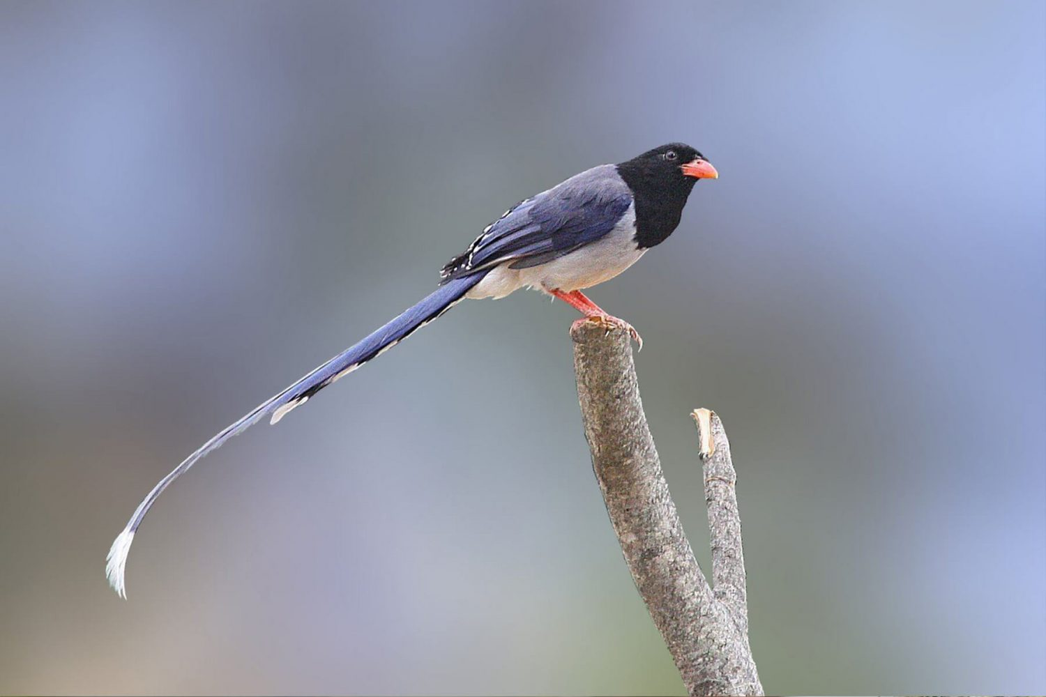 red_billed_blue_magpie_5