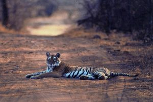 tiger_in_jim_corbett