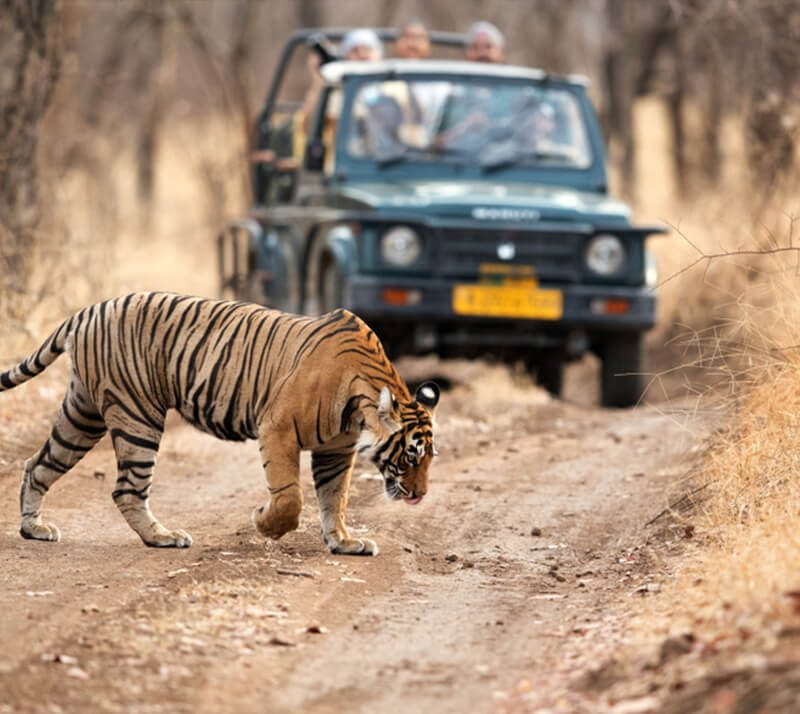 tiger_safaris