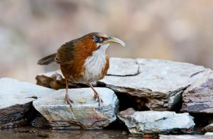 Rusty-Cheeked-Scimitar-Babbler