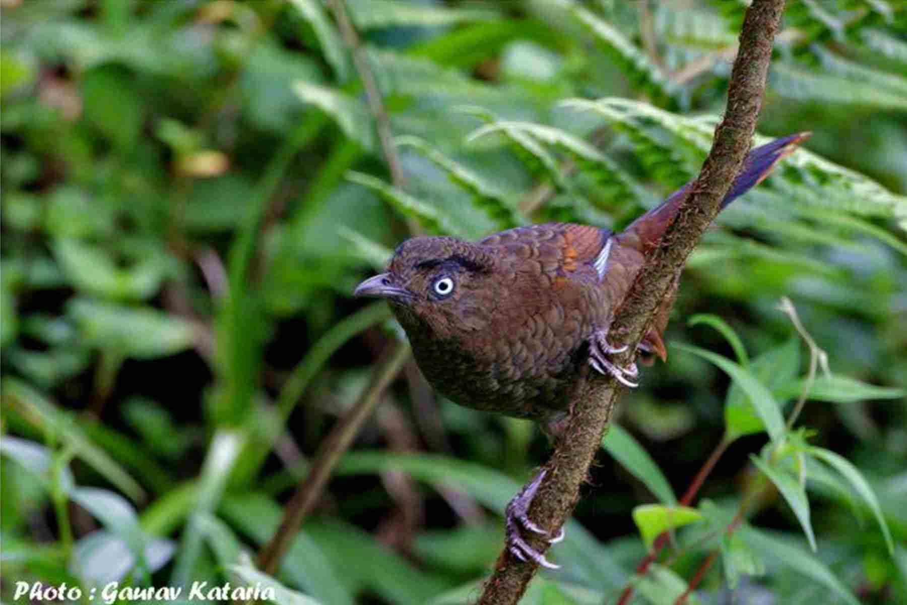 blue_winged_laughingthrush