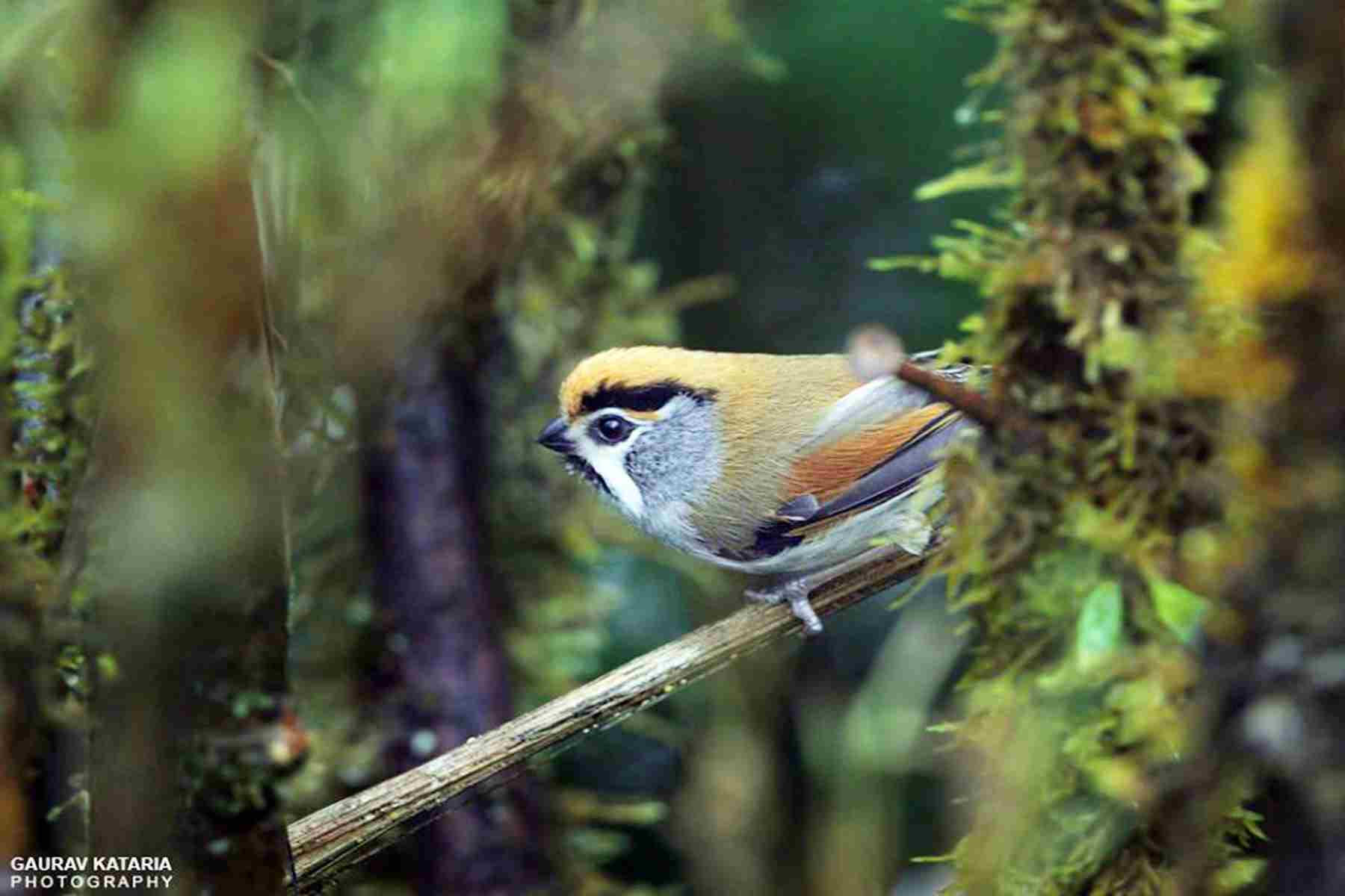 black-throuated-parrotbill
