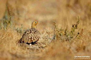 sandgrouse_birds