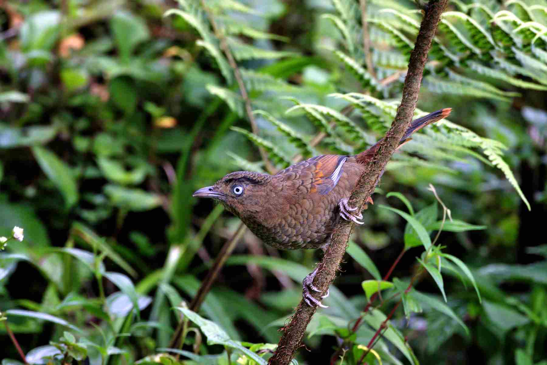 blue_winged laughingthrush 1