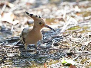 hoopoe_manas_national_park