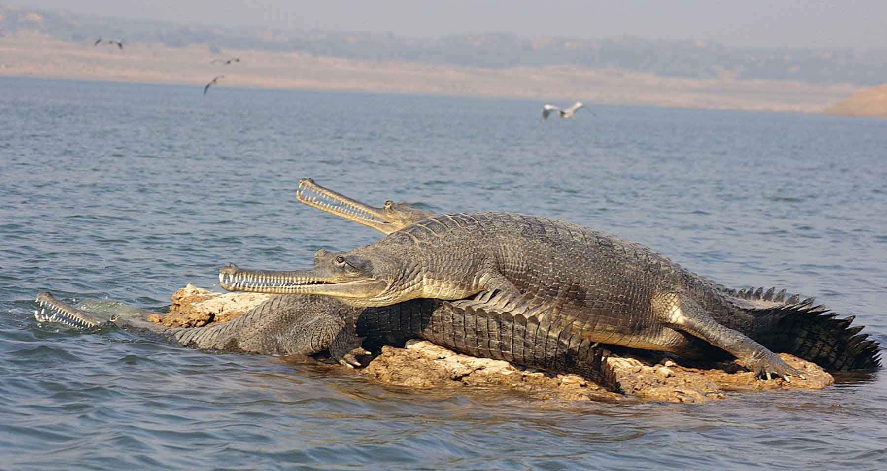 Chambal-River-Gharials