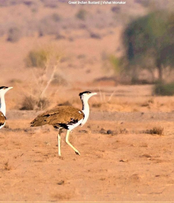 great_indian_bustard